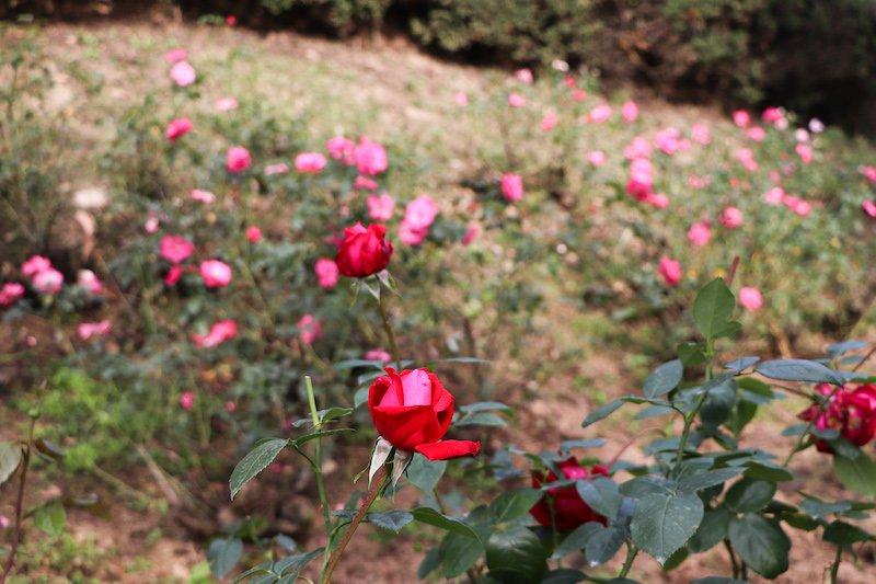 「牛田総合公園」のバラ園